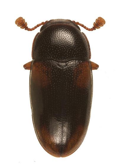unknown beetle - Dacne quadrimaculata