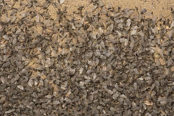 3024853,8 mayfly - Tricorythodes explicatus