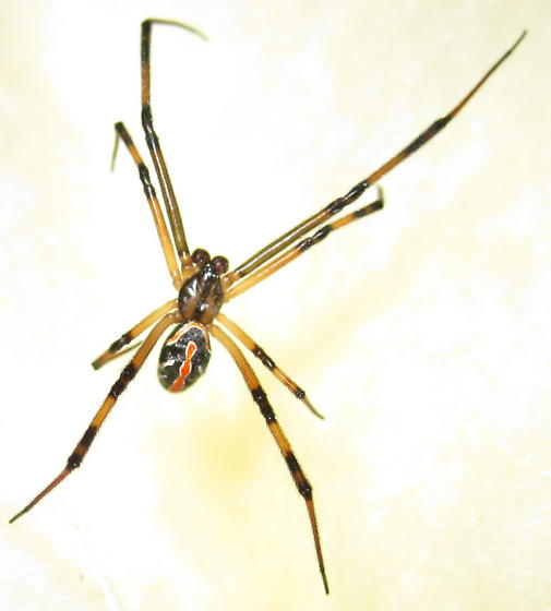 Spider in garage with small web - Latrodectus hesperus