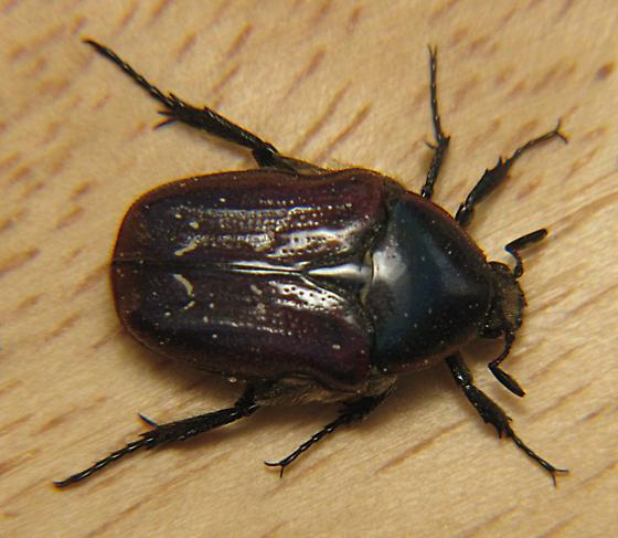 Scarab beetle - Euphoria fulgida