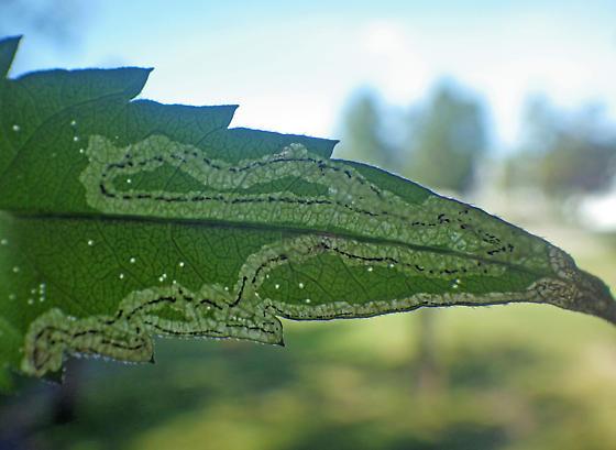 Linear mine on Bidens - 2 - Liriomyza