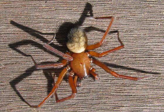 Spider from Oregon - Callobius