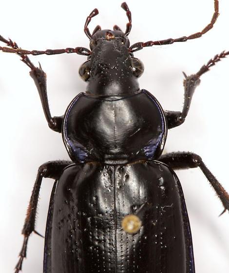 Calosoma macrum LeConte - Calosoma macrum