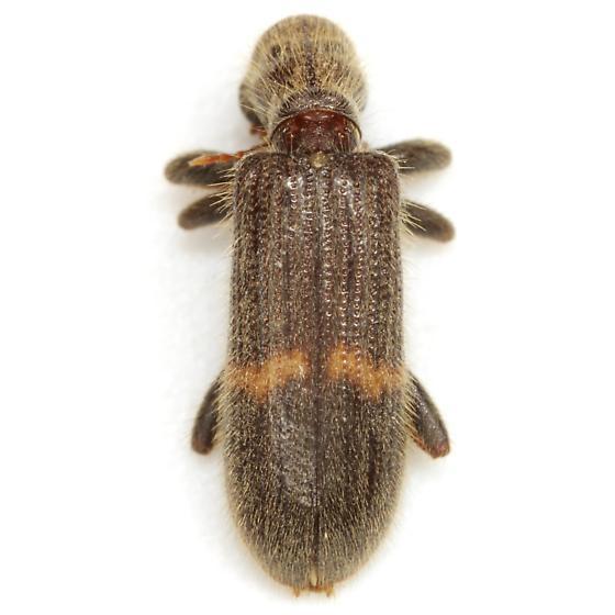 Cymatodera nr. neomexicana - Cymatodera neomexicana