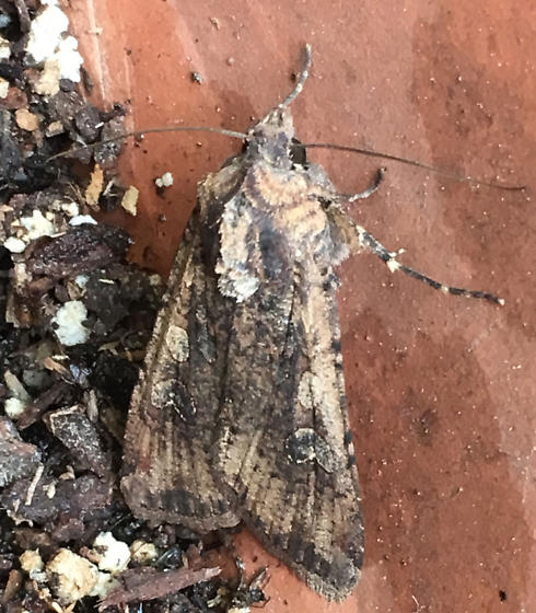 What moth is this? - Peridroma saucia