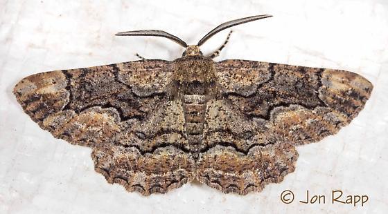 Phaeoura cristifera - male