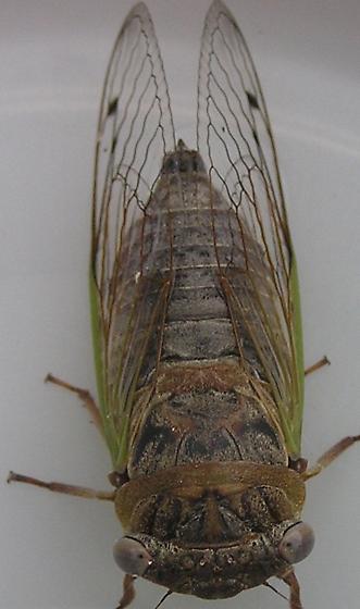 Small Cicada 2 - Neotibicen auriferus