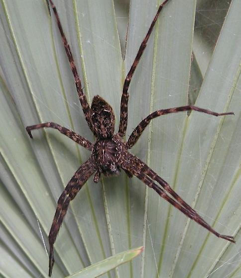 Dolomedes okefinokensis - female