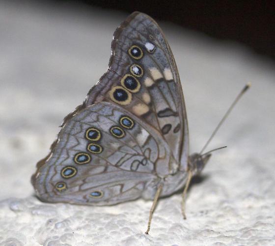 Butterfly - Asterocampa celtis