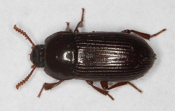 Beetle, probably Tenebrionidae - Uloma imberbis