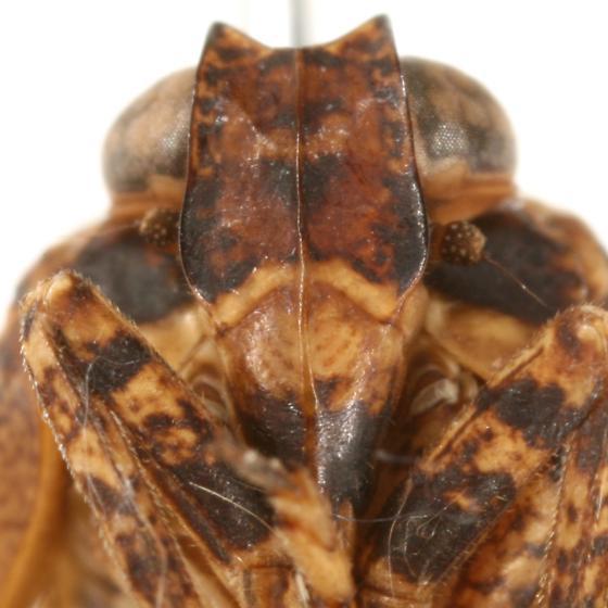 Thionia elliptica (Germar) - Thionia elliptica