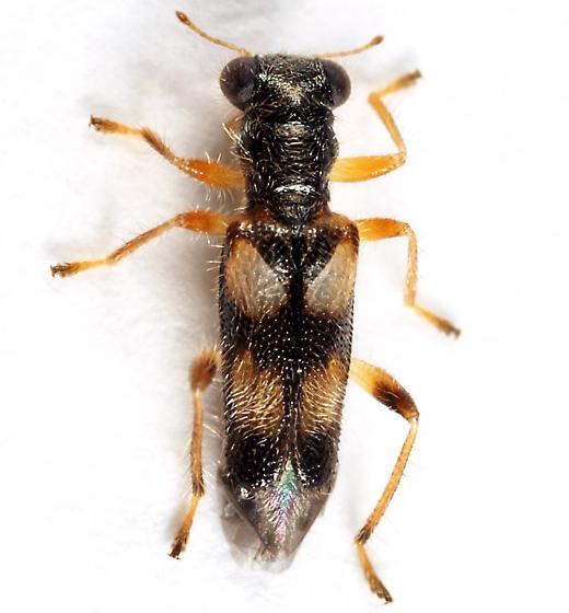 Clerid - Phyllobaenus pallipennis