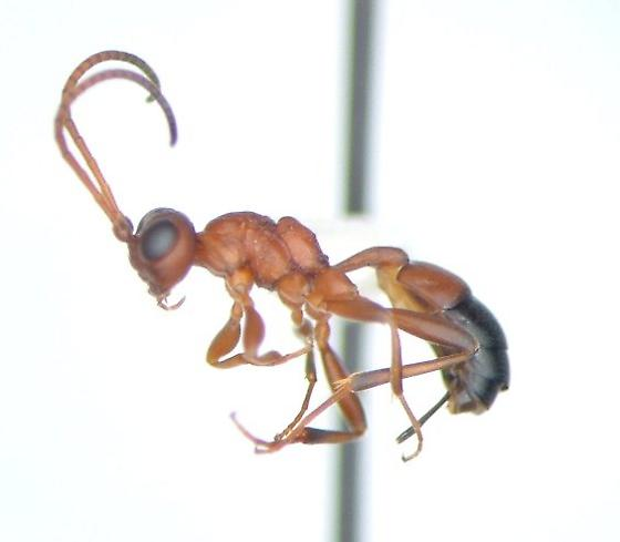 Wingless wasp - Gelis - female