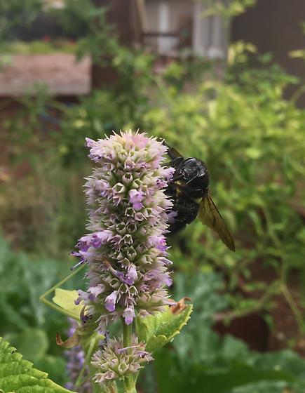 Horsefly-like Carpenter Bee - Xylocopa tabaniformis