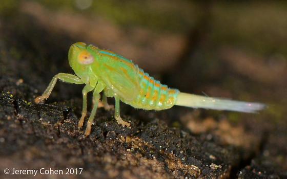 please ID leafhopper