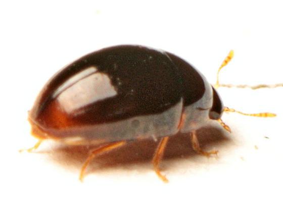 Tiny beetle - Stilbus