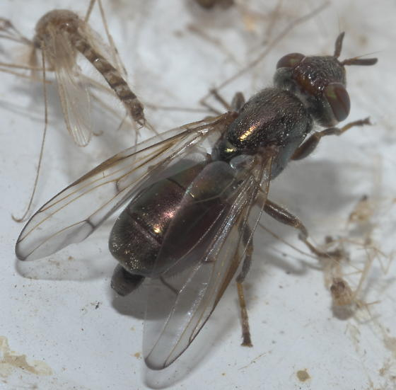Bronze-colored fly - Senopterina