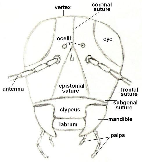 Diagram of an insect - front view of head