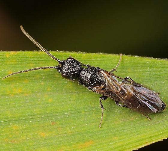 Wasp ID - Pristepyris