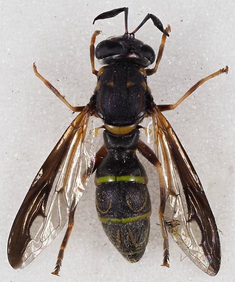 Unknown Syrphidae - Sphiximorpha willistoni - female