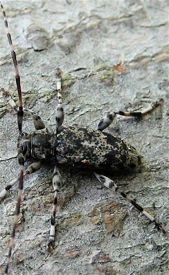 Oak Borer? - Graphisurus fasciatus
