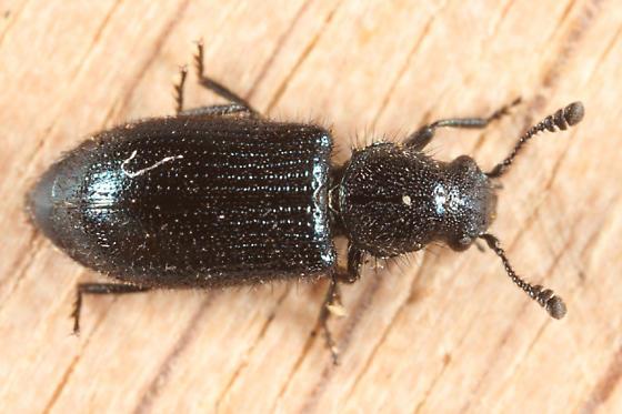 Cosmopolitan Blue Bone Beetle - Necrobia violacea