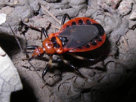 Red&Black - Rhiginia cruciata