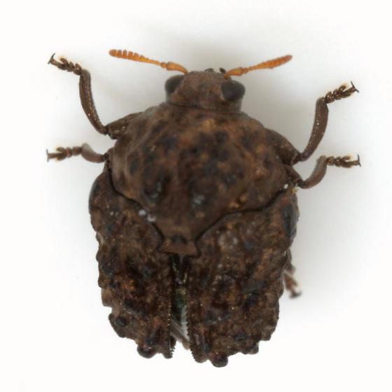 Neochlamisus velutinus Karren - Neochlamisus velutinus