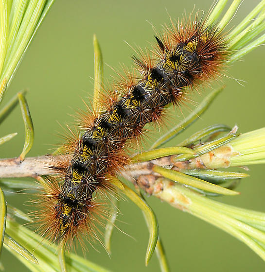 Silver-spotted Tiger Moth Caterpillar - Lophocampa argentata