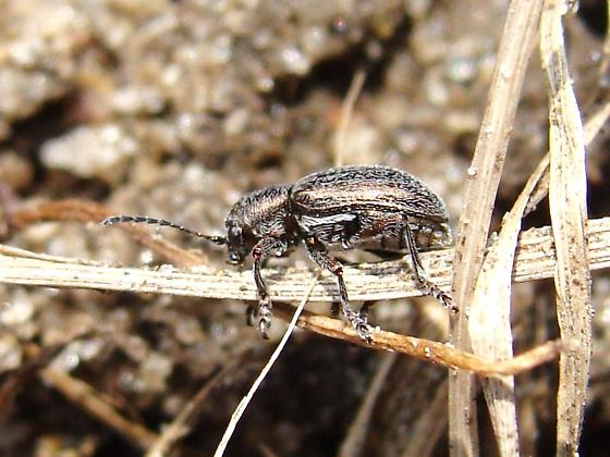 Shiny yet hairy leaf beetle - Graphops pubescens