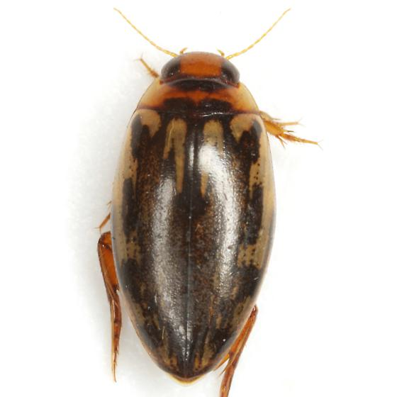 Coptotomus venustus (Say) - Coptotomus venustus
