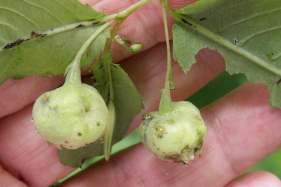 Jewelweed Galls - Schizomyia impatientis