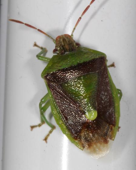 Stink (?) bug - brown and green - Banasa dimidiata