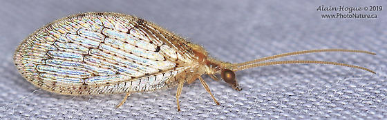 Hemerobius humulinus ? - Hemerobius humulinus