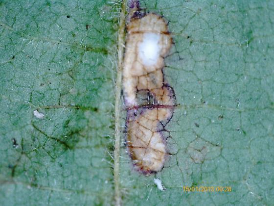 Lake Crabtree leaf miner on Rubus pensilvanicus D1064 2018 12 - Ectoedemia rubifoliella