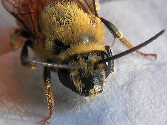 Mr. Squash Bee #2 of 3 - Peponapis pruinosa - male
