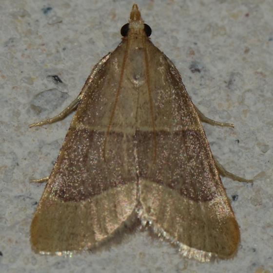 No. 333 Near Arta epicoenalis? - Hypsopygia planalis