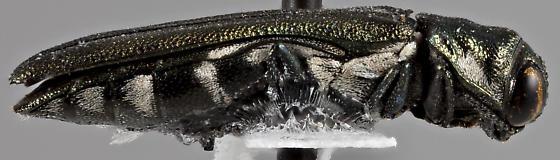 Agrilus latifrons