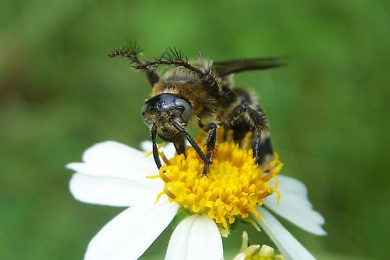Wasp - Campsomeris plumipes - female