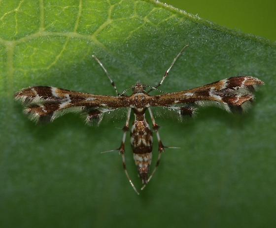 Plume Moth? - Geina periscelidactylus
