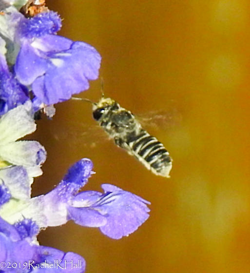 Leaf-cutter Bee? Can you help me narrow this down further? - Megachile