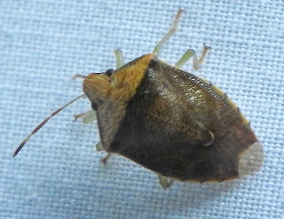 Hemipterid III - Banasa calva