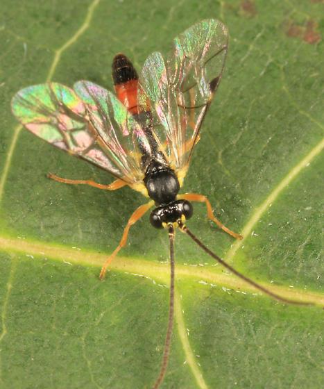 Ichneumon - Sussaba pulchella - male