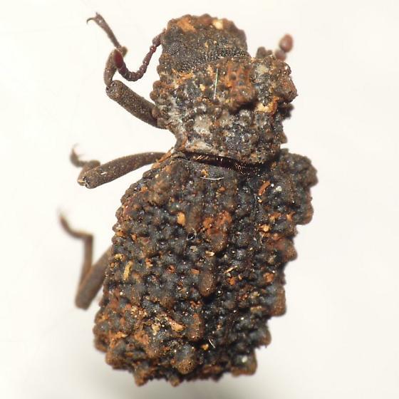 Forked Fungus Beetle? - Bolitotherus cornutus - female