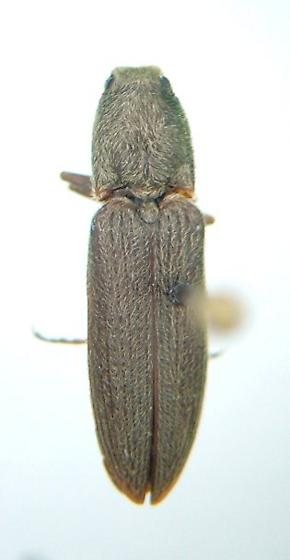 Limonius 02 - Limonius agonus - male