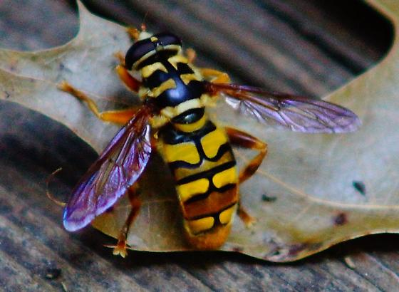 Large hovering hornet? - Milesia virginiensis - male