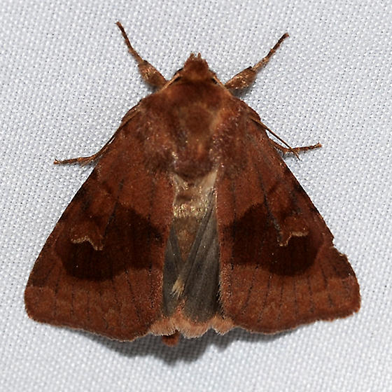 Dark rose Noctuid at lights - Nephelodes