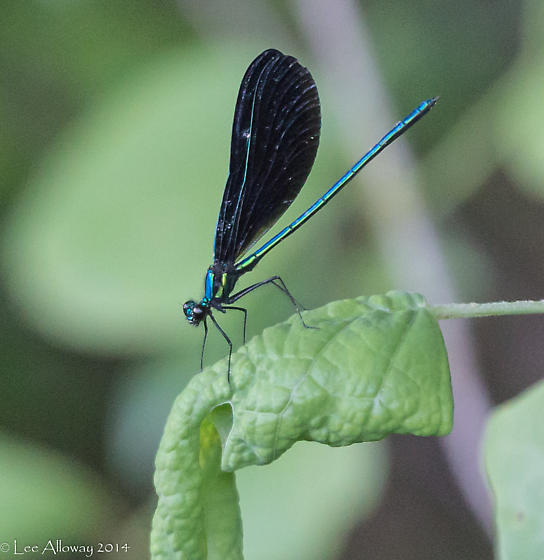 Ebony Jewlwing - Calopteryx maculata - male