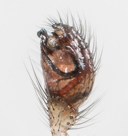 Enoplognatha marmorata - male