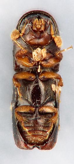 Scolytinae - Monarthrum mali